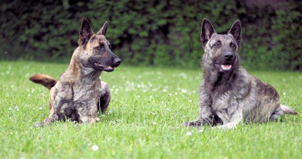 Black Golden Pearls Zucht Hollandischer Schaferhunde
